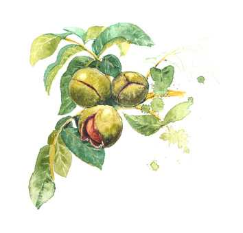 Drawing of the black walnut in its green shell