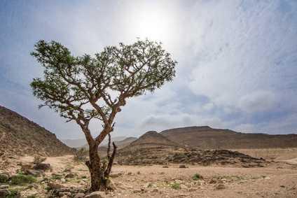 Knorriger Weihrauchbaum steht einsam in der Wüste des Oman